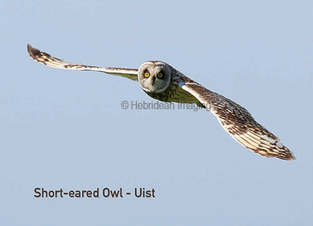 Birds Hebridean Imaging Yvonne Benting art photography western isles outer hebrides uist short-eared owl