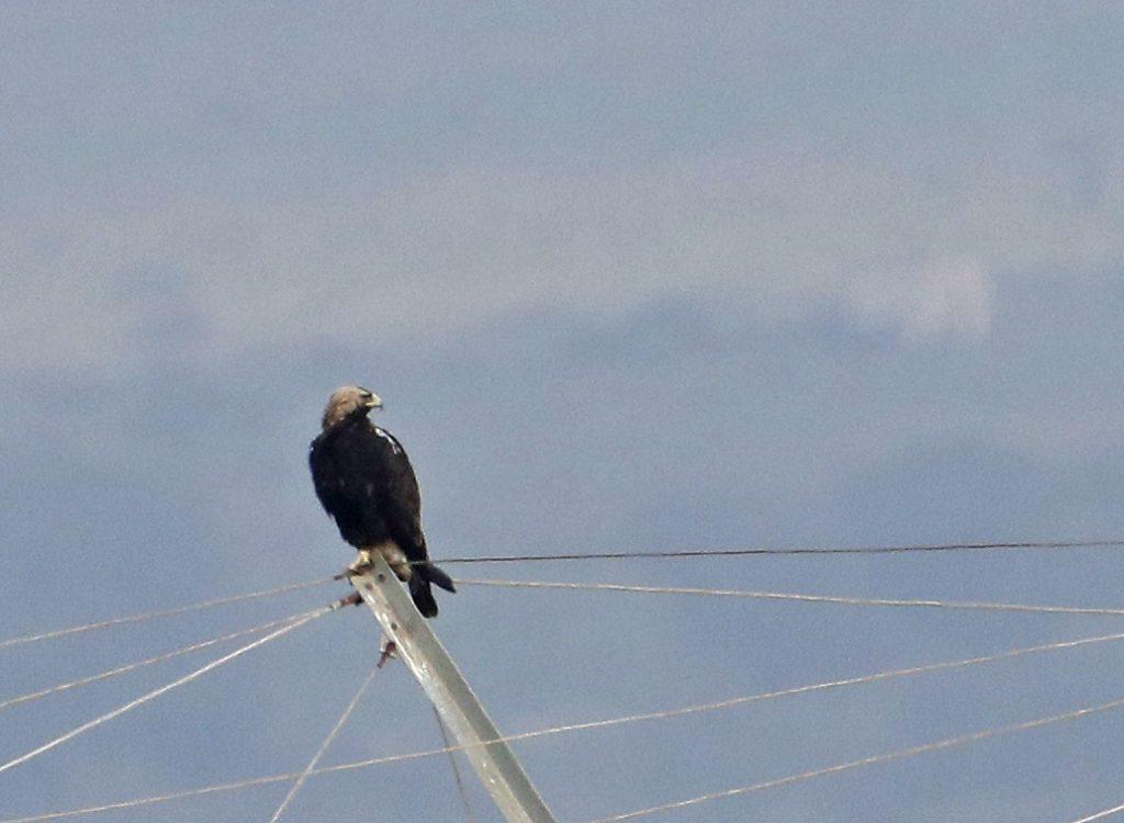 Hebridean Imaging - Yvonne Benting - Bird Photography - Spain - Spanish Imperial Eagle - La Janda
