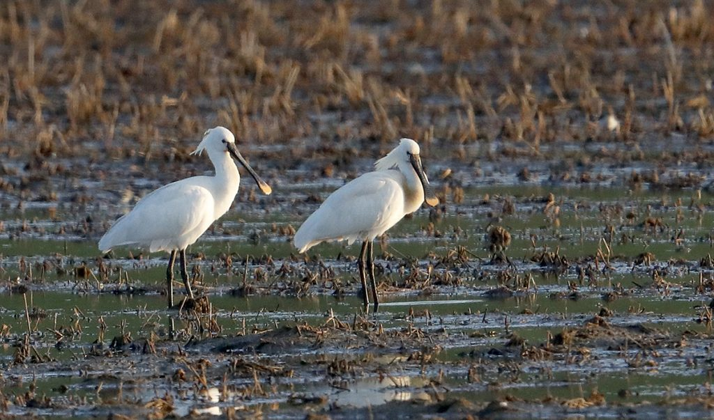 Hebridean Imaging - Yvonne Benting - Bird Photography - Spain - Spoonbills - La Janda