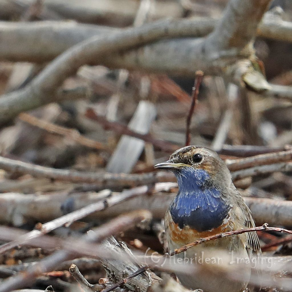 Hebridean Imaging - Yvonne Benting - Bird Photography - Spain - Bluethroat - La Janda