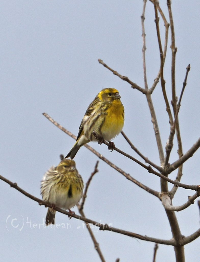 Hebridean Imaging - Yvonne Benting - Bird Photography - Spain - Serins - La Janda