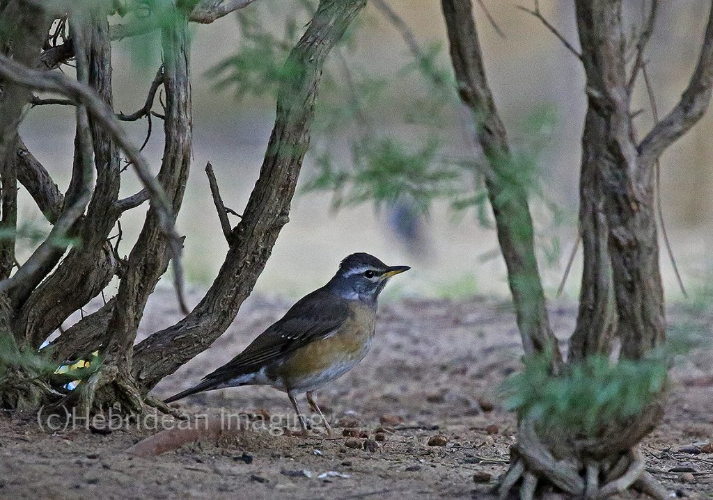 eyebrowed thrush - cadiz - spain - bird photography - rarity - 2018