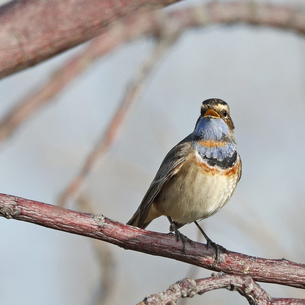 Hebridean Imaging art and photography outer hebrides Bluethroat