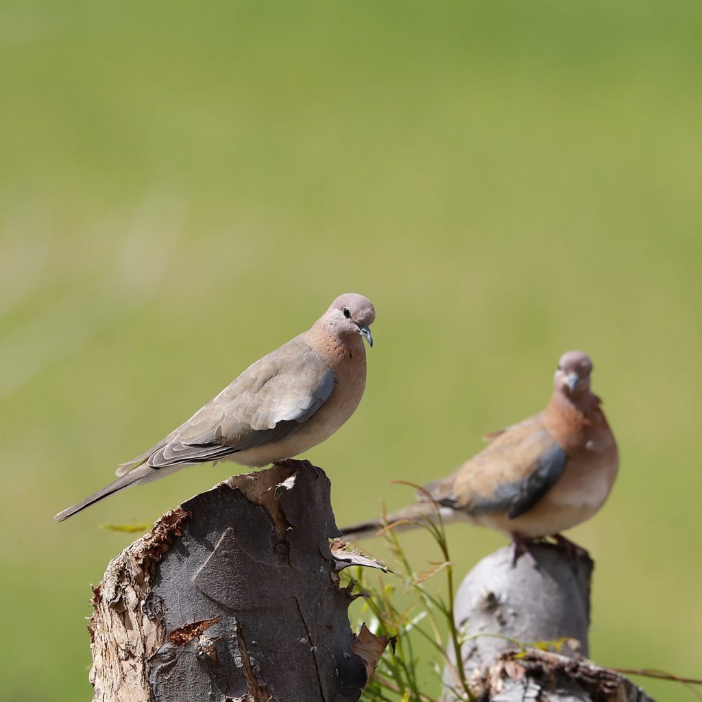 Hebridean Imaging art and photography outer hebrides cyprus laughing doves