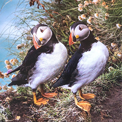 puffin hebridean imaging outer hebrides birds yvonne benting