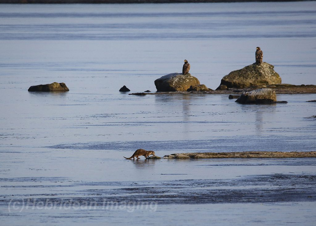 Yvonne Benting Hebridean Imaging Photography Otter and two White-tailed Eagles on frozen Loch Bee South Uist Outer Hebrides